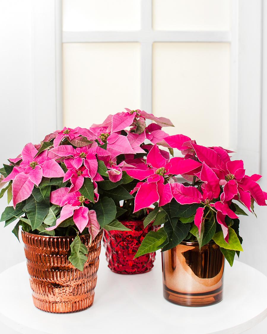 Jõulutäht, roosa